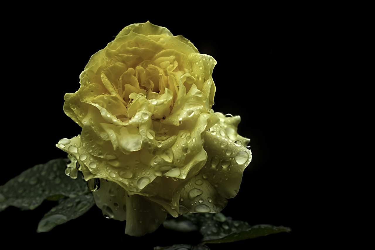 Picture Roses Yellow Drops flower Closeup Black background rose Flowers