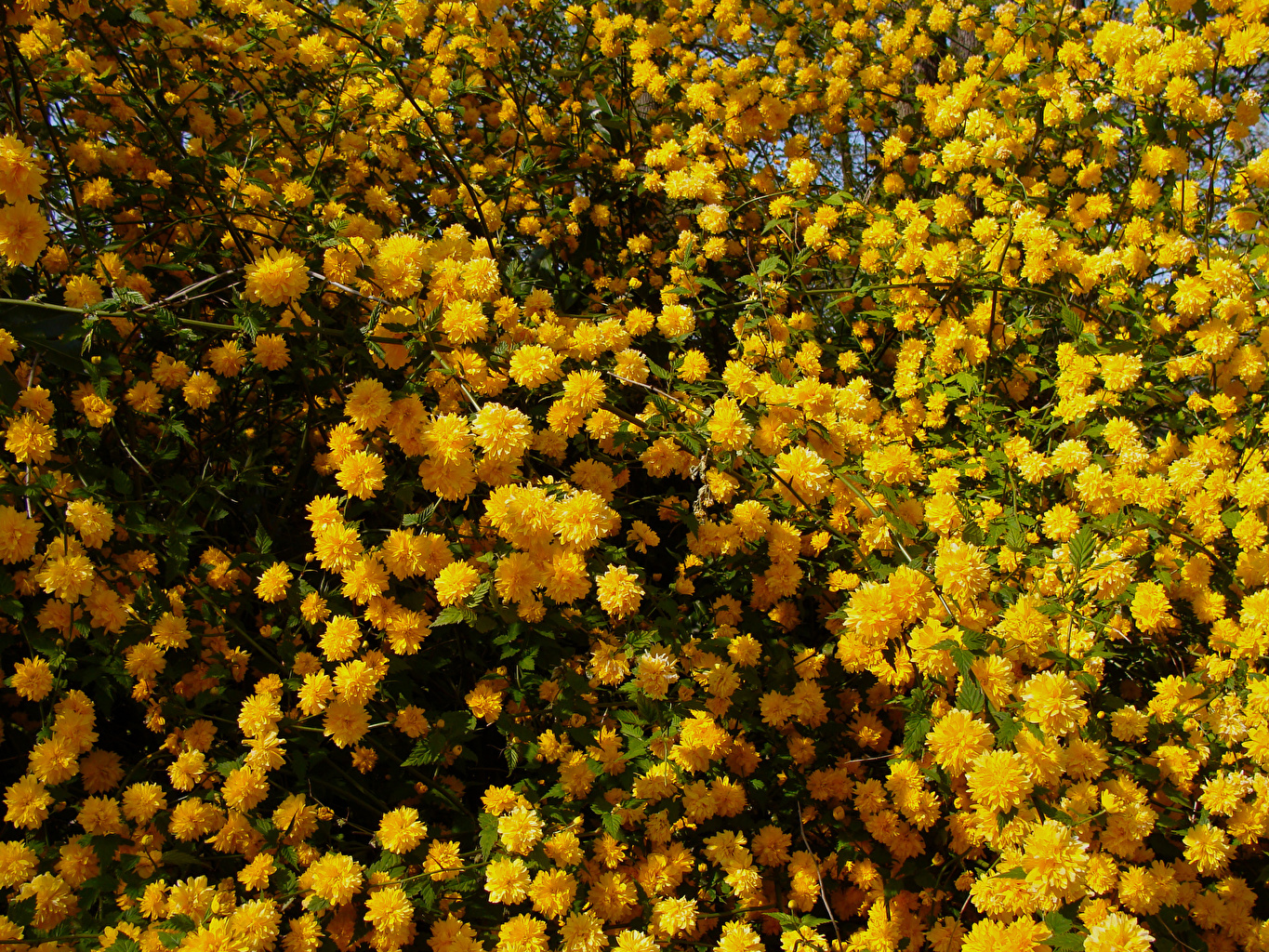 Photo Kerria Japonica Yellow Flowers Many Flowering trees flower