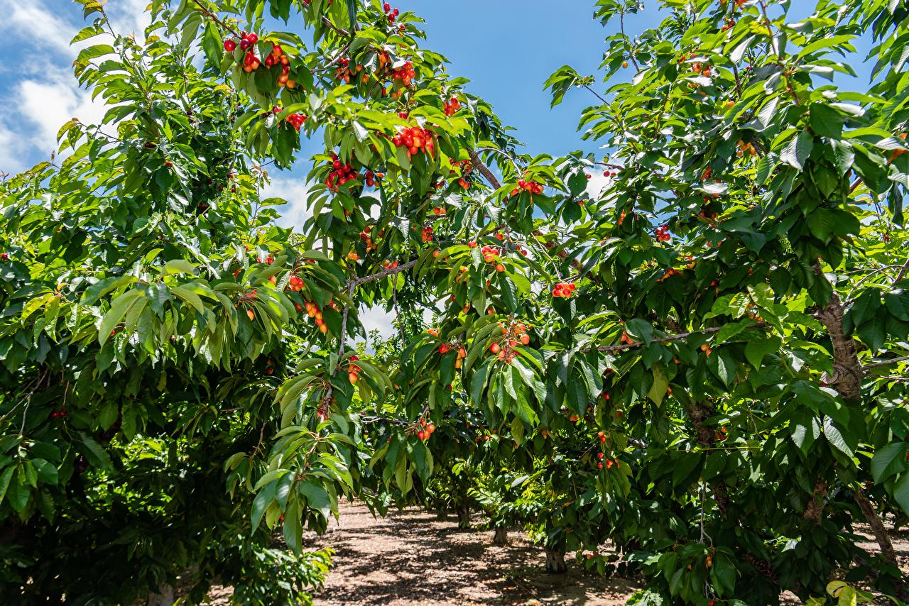 Bilder Blatt Natur Garten Kirsche Ast Bäume Blattwerk
