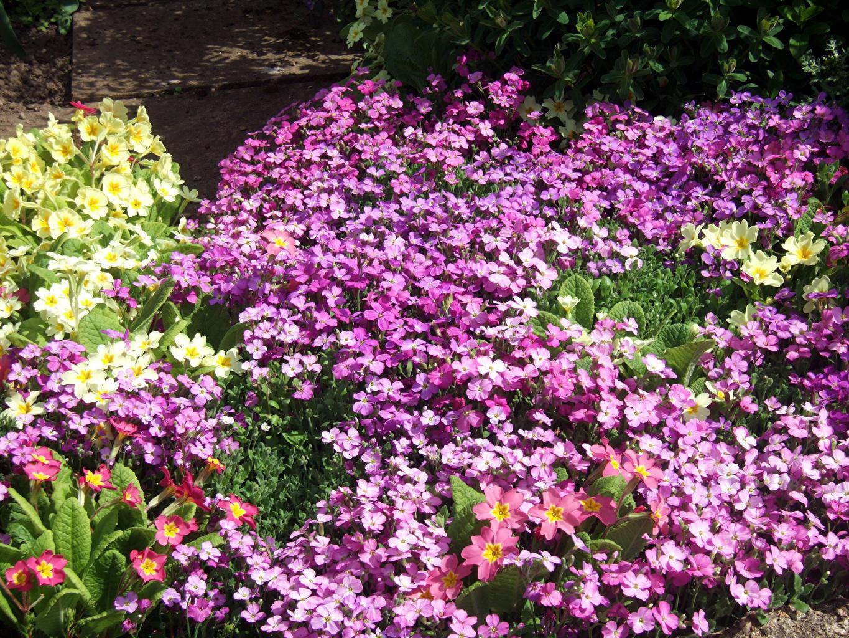 Desktop Hintergrundbilder Aubretia Blumen Schlüsselblumen Viel Blüte Primeln