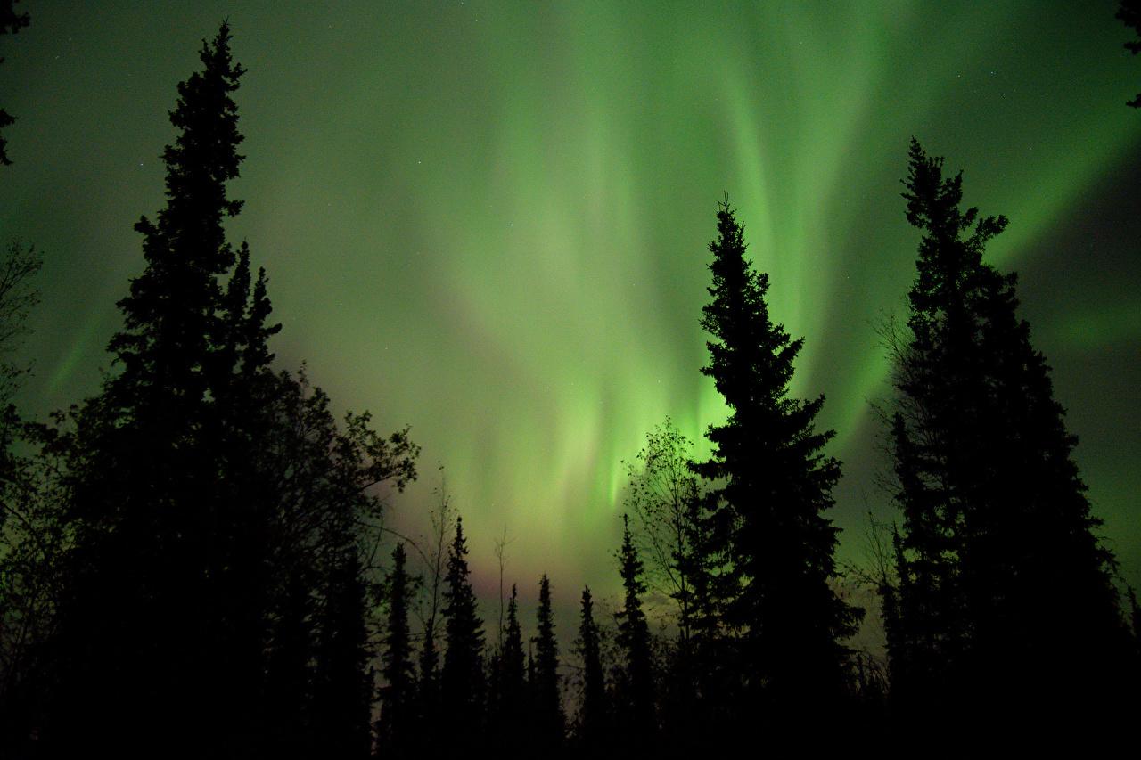 、、木、トウヒ属、シルエット、オーロラ、夜、自然、