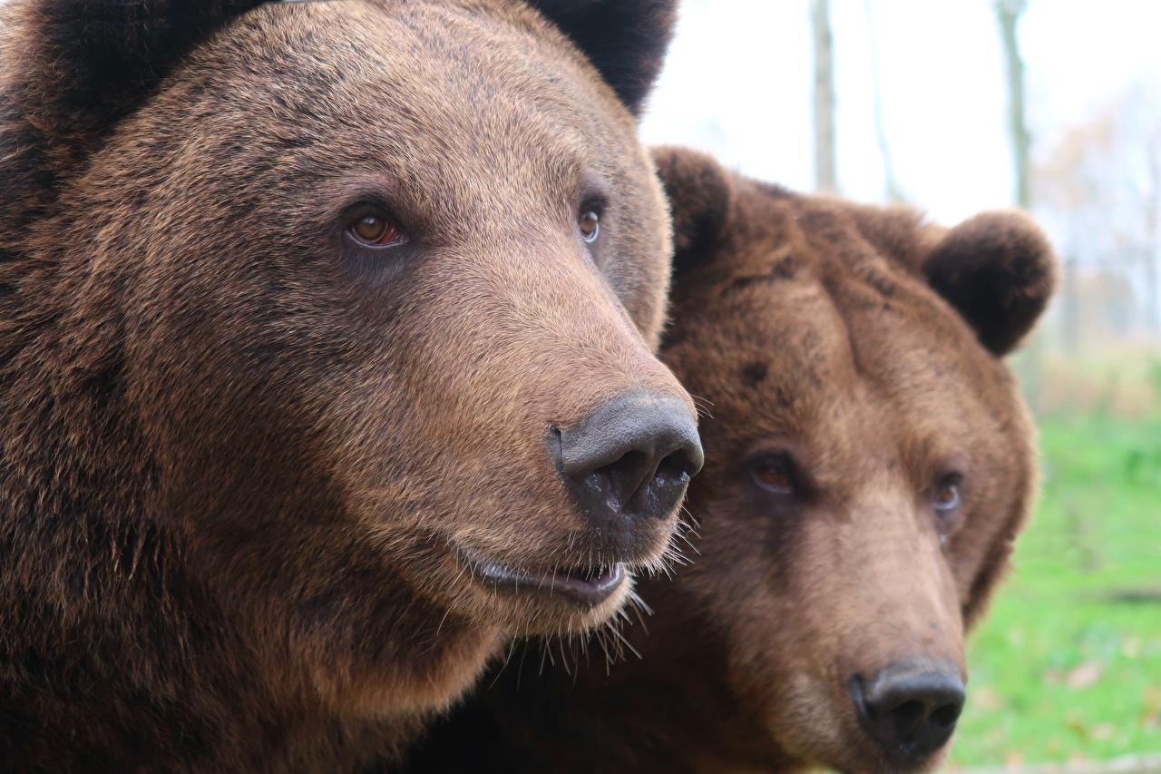 Fotos von Braunbär Bären Nase 2 Schnauze Tiere Starren Großansicht Zwei Blick