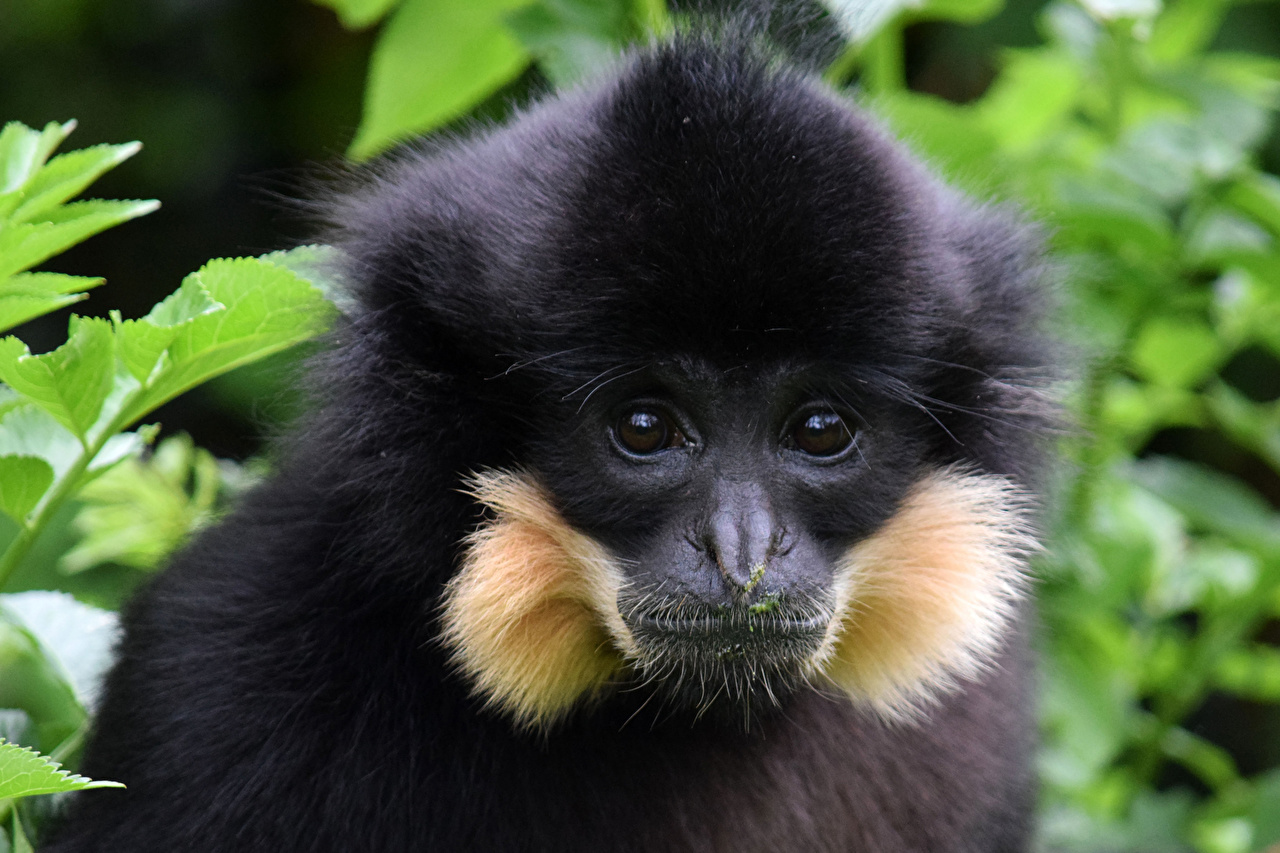 Pictures Monkeys Snout Staring Animals monkey Glance animal