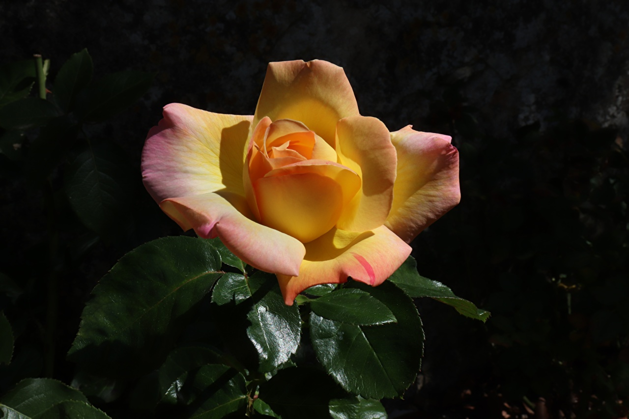 Rosas De perto flor, rosa Flores