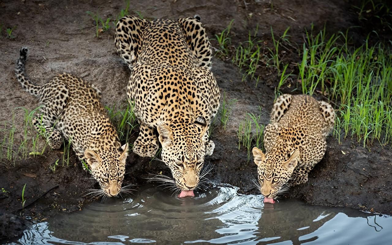 Wallpaper Leopards Drinking water Three 3 Animals