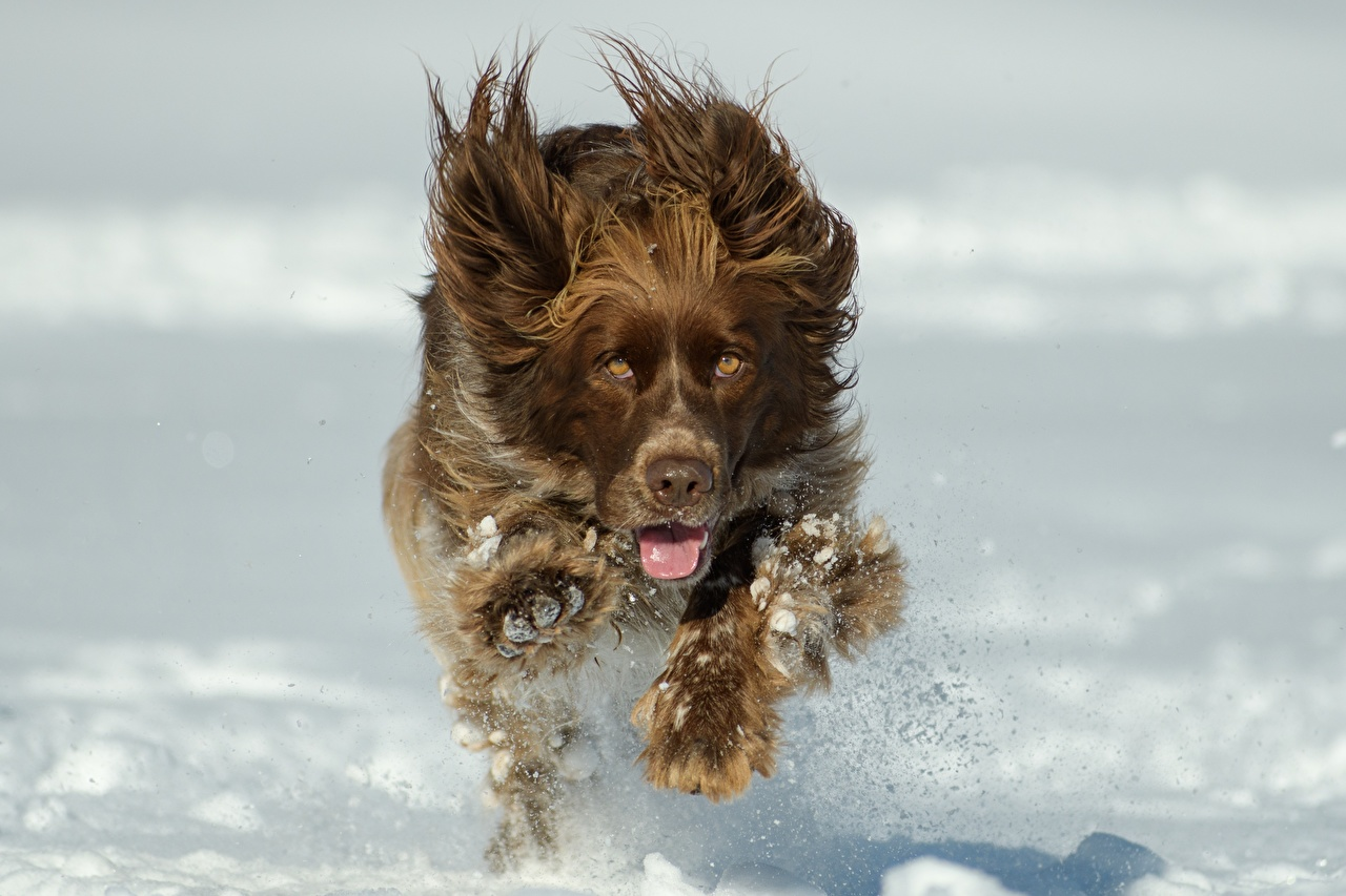 Wallpaper Spaniel Dogs Run Bokeh Snow Water splash Animals dog Running blurred background animal