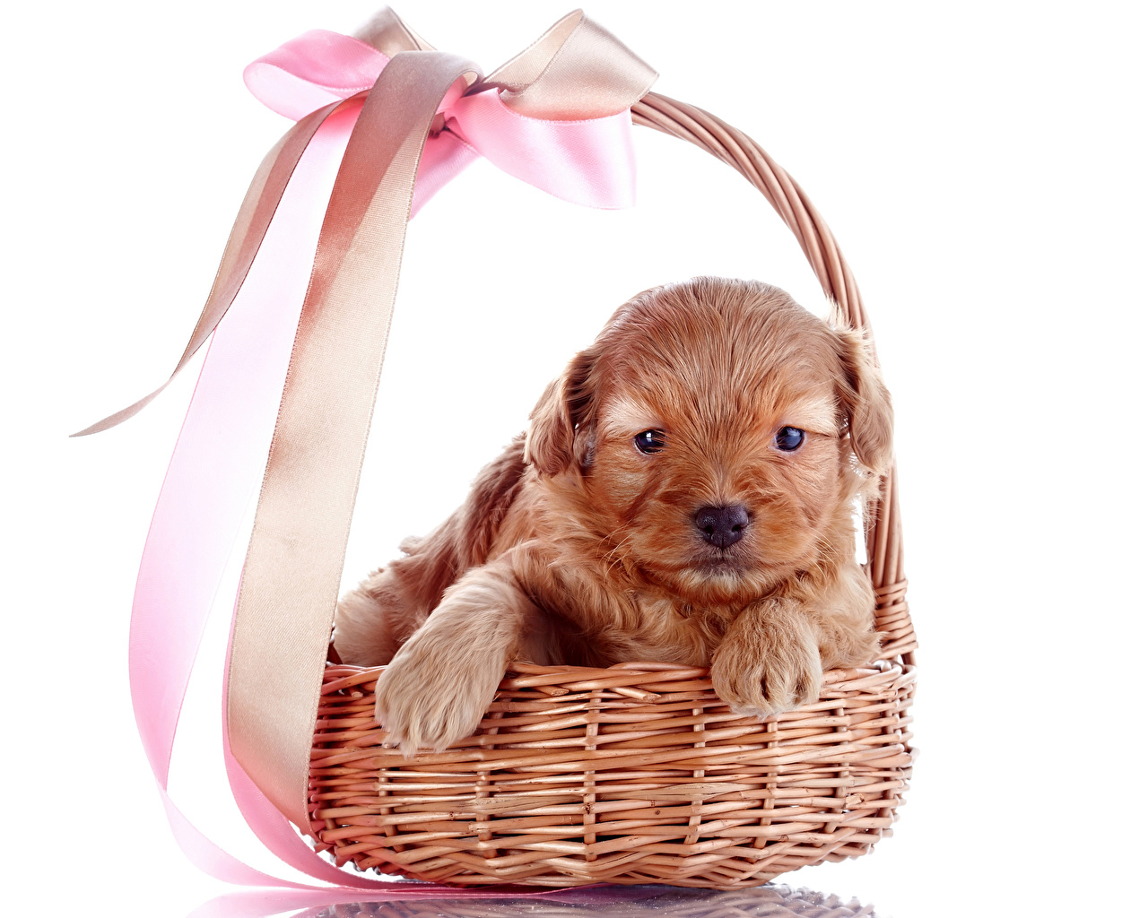 Wallpaper Puppy Dogs Paws Wicker basket bow knot animal White background puppies dog Bowknot Animals