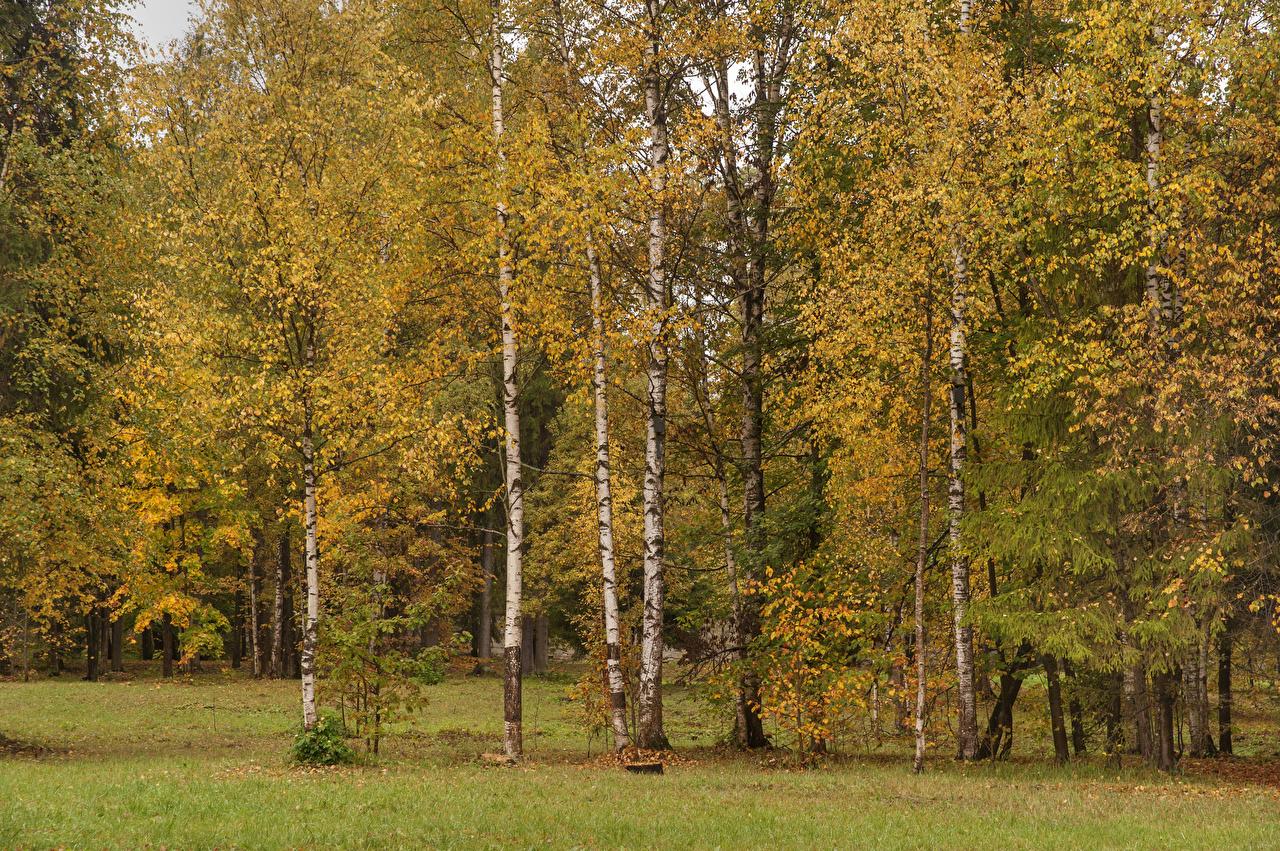 Foto Sankt Petersburg Russland Gatchina Palace park Natur Birken Herbst Park Bäume