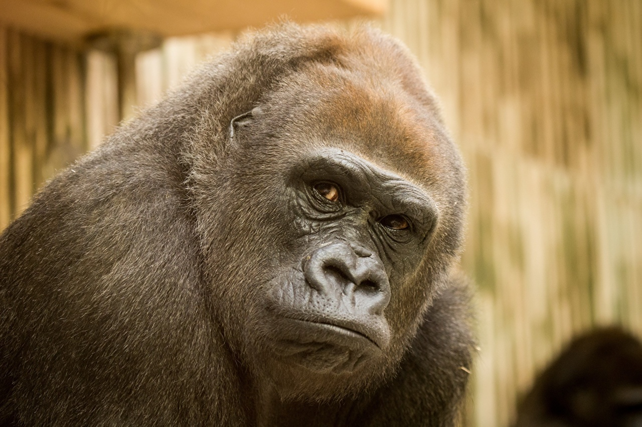 Macaco Ver animalia, um animal, macacos Animalia