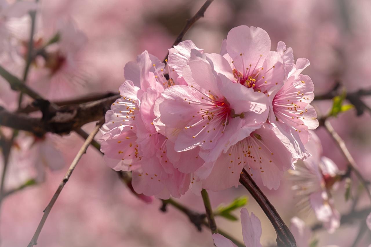Photos Sakura Pink color Flowers Closeup Cherry blossom flower
