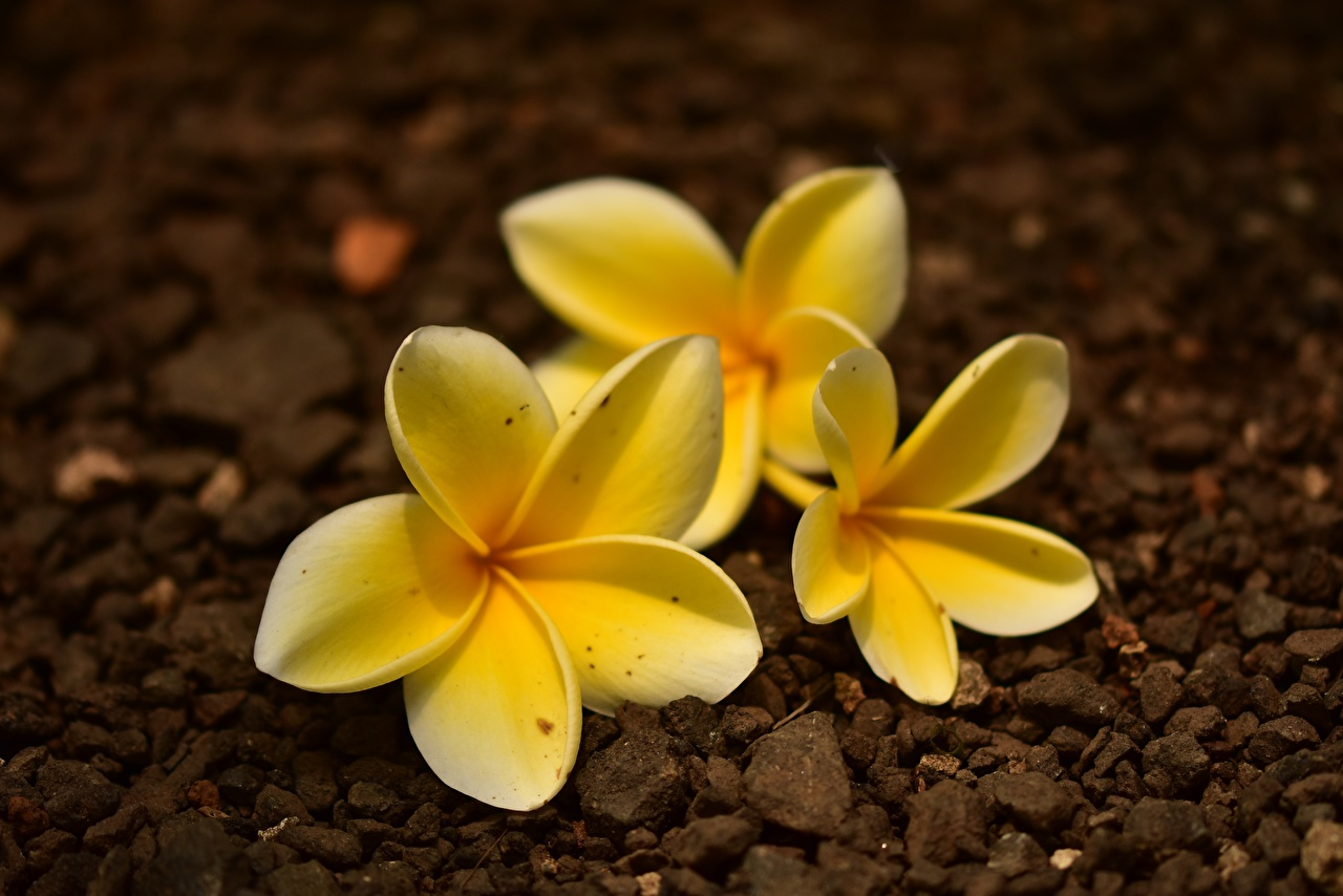 Pictures Bokeh Yellow Flowers Plumeria Closeup blurred background flower