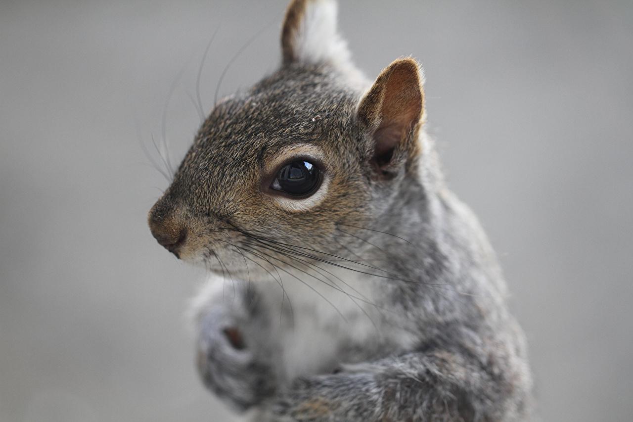Immagini Scoiattoli Animali Da vicino scoiattolo animale