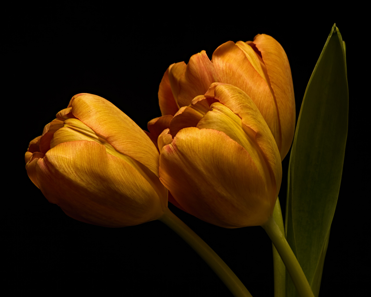 Fotos Orange Tulpen Blüte Drei 3 hautnah Schwarzer Hintergrund Blumen Nahaufnahme Großansicht