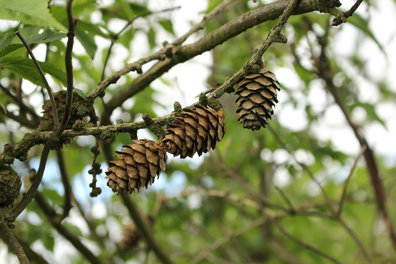 Photos blurred background Nature Branches Pine cone Bokeh Conifer cone