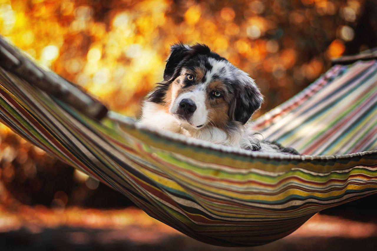 Desktop Hintergrundbilder Australian Shepherd hund Hängematte Tiere Blick Hunde Starren ein Tier