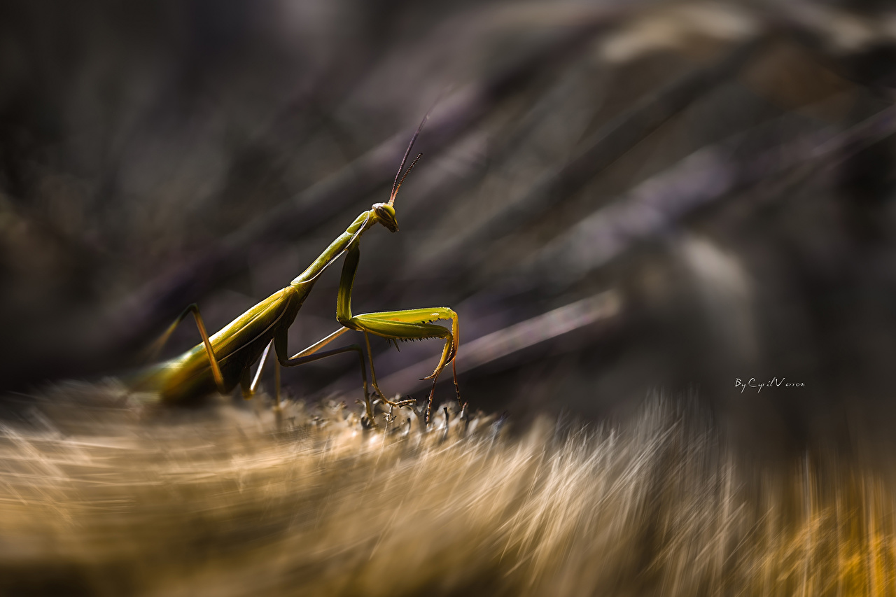 Picture Insects mantodea Animals Mantis animal