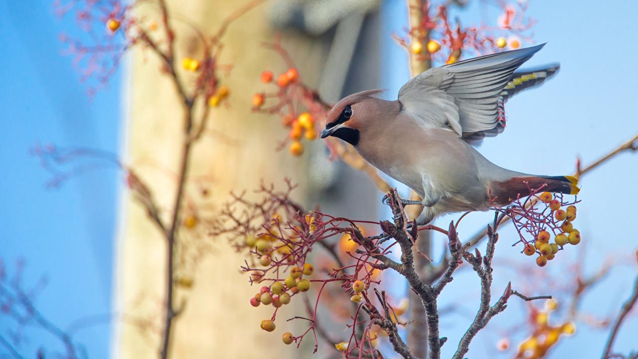 Wallpaper bird Bohemian waxwing Sorbus Branches Animals Birds rowan animal