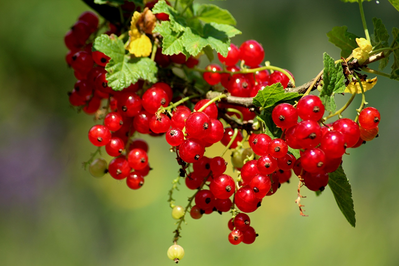 Wallpaper Bokeh Red Nature Currant Berry Many blurred background