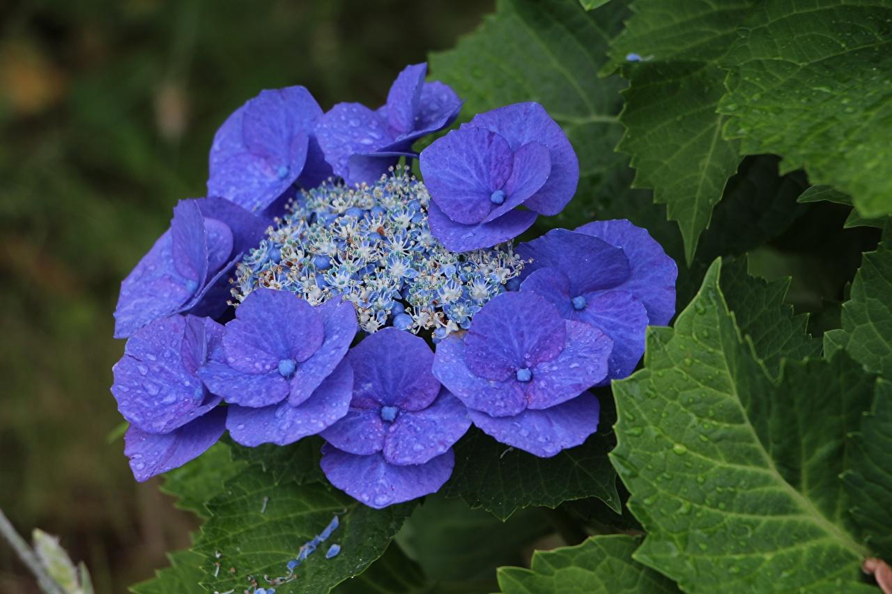 Photo Blue Violet Flowers Hydrangea Closeup flower