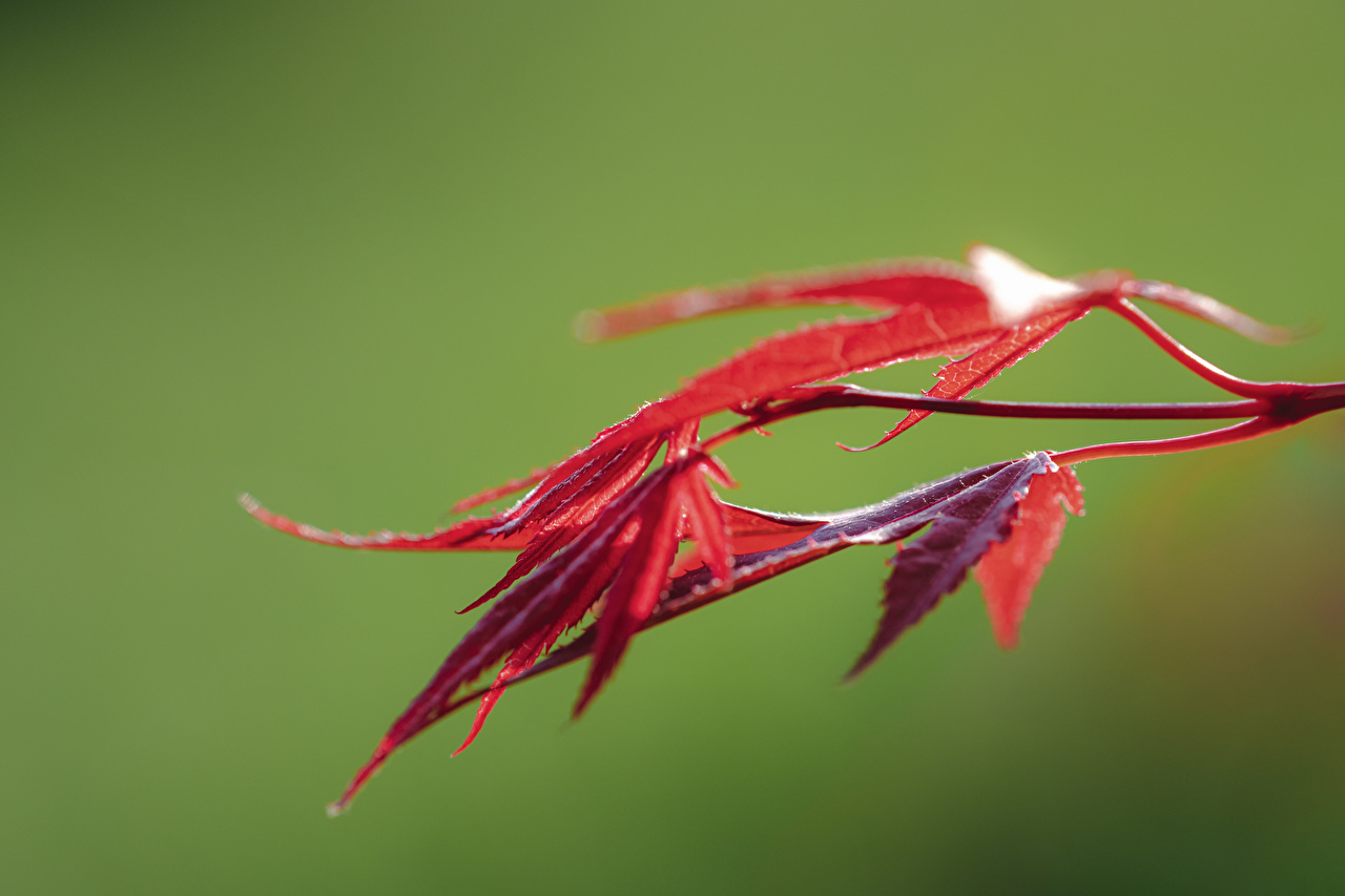 Wallpaper Foliage Bokeh acer Red Nature Closeup Leaf blurred background Maple