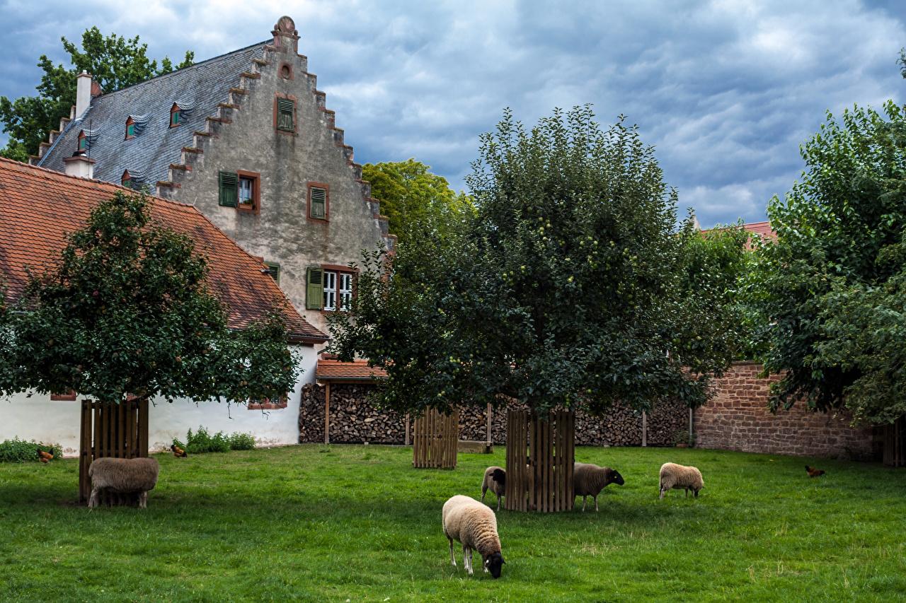 Wallpaper Sheep Switzerland Hinterhof Grass Trees Cities Houses