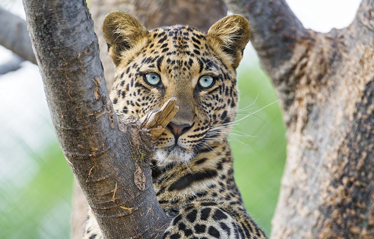 Wallpaper Leopards Big cats Trunk tree Glance Animals leopard animal Staring