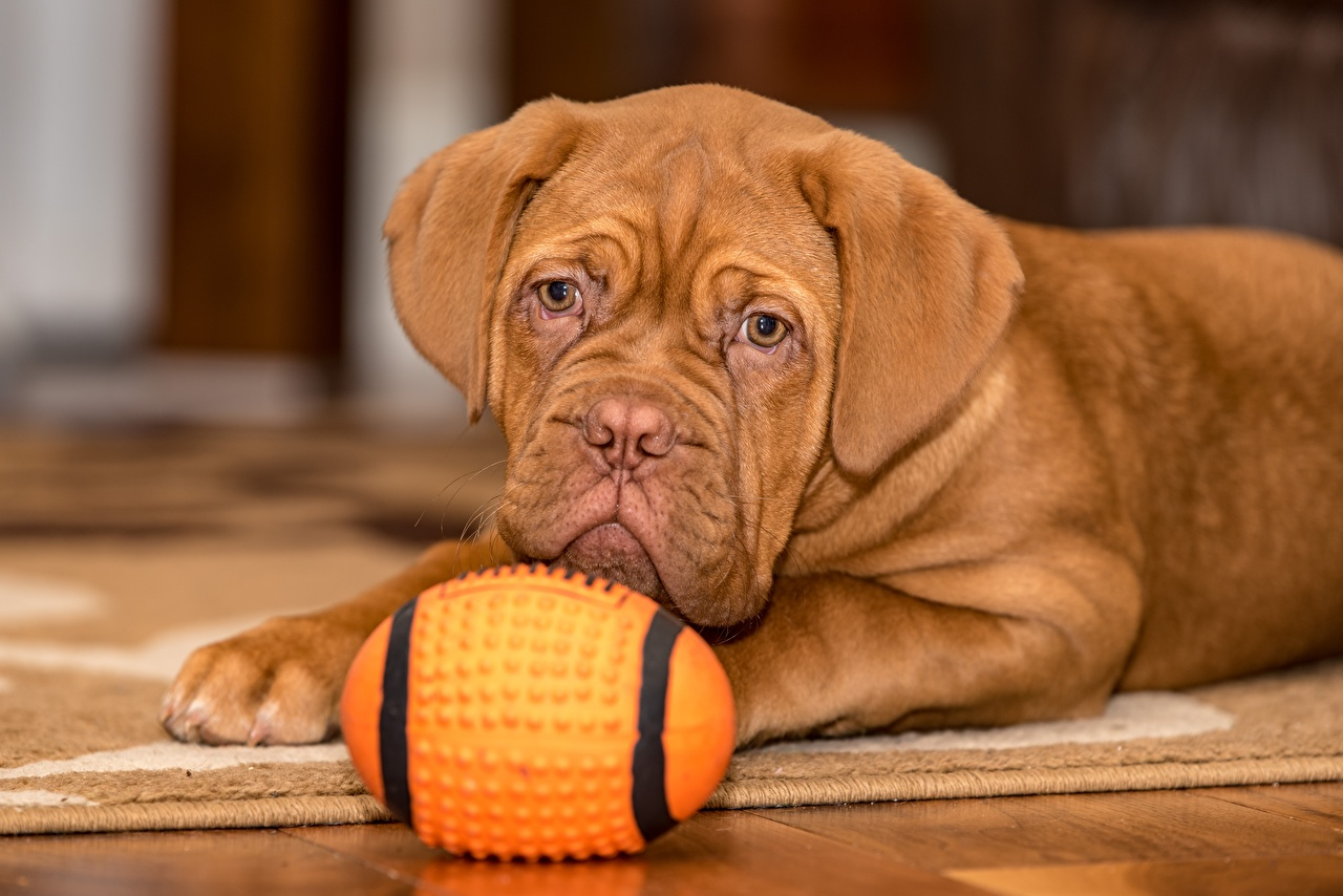 Images Puppy Dogue de Bordeaux Dogs Lying down Brown Ball Glance Animals puppies dog laying esting animal Staring