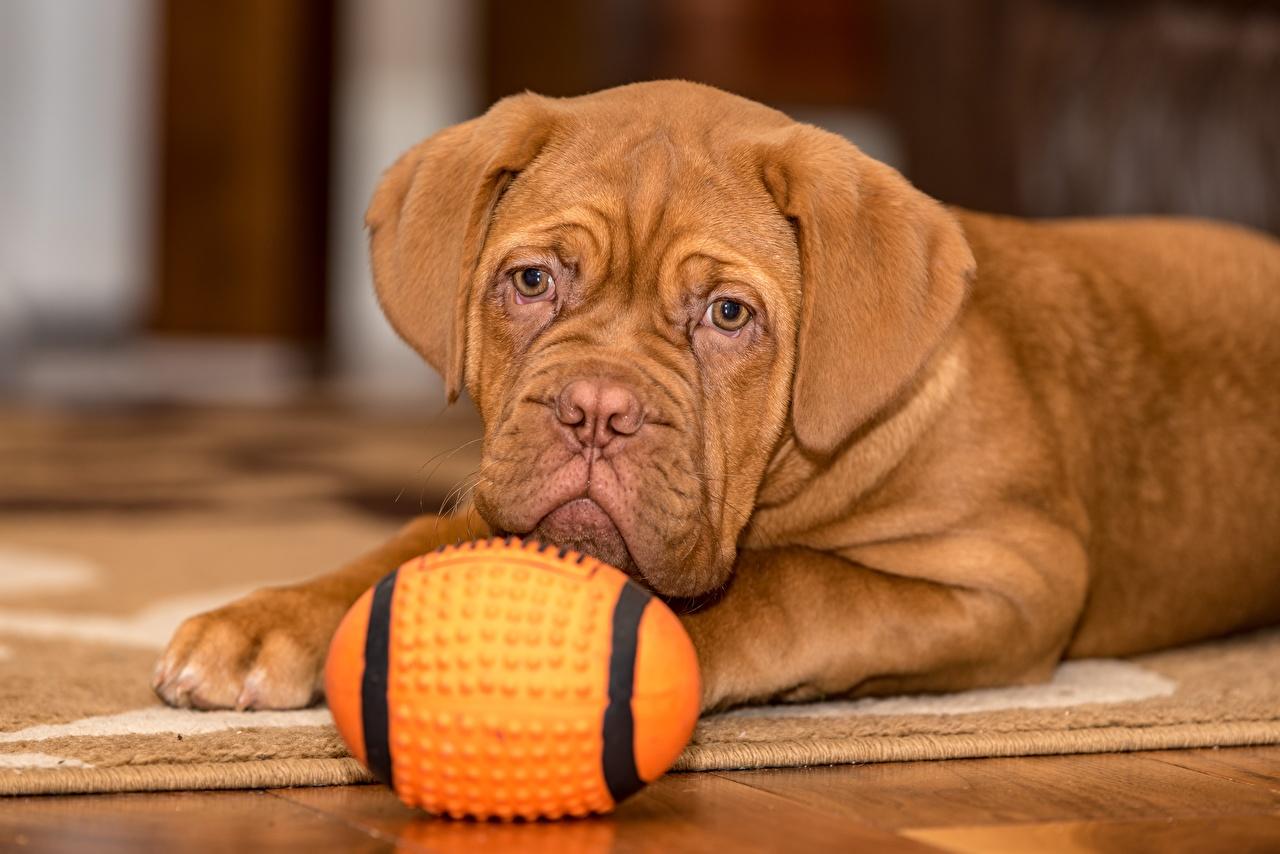 Resultado de imagen para 犬 dogue de bordeaux  ボールをする