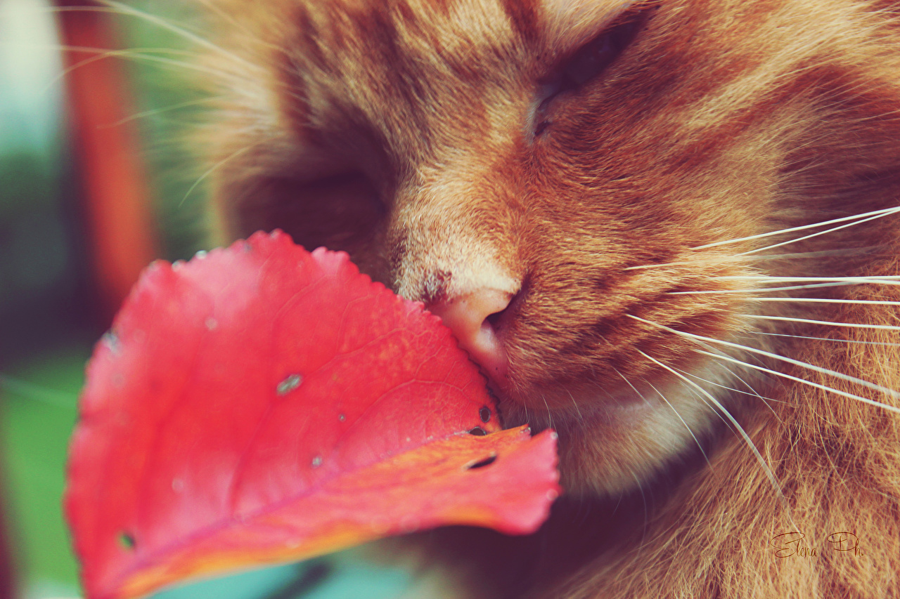 Photo Cats red orange Macro Whiskers Closeup Animals cat Ginger color Macro photography animal
