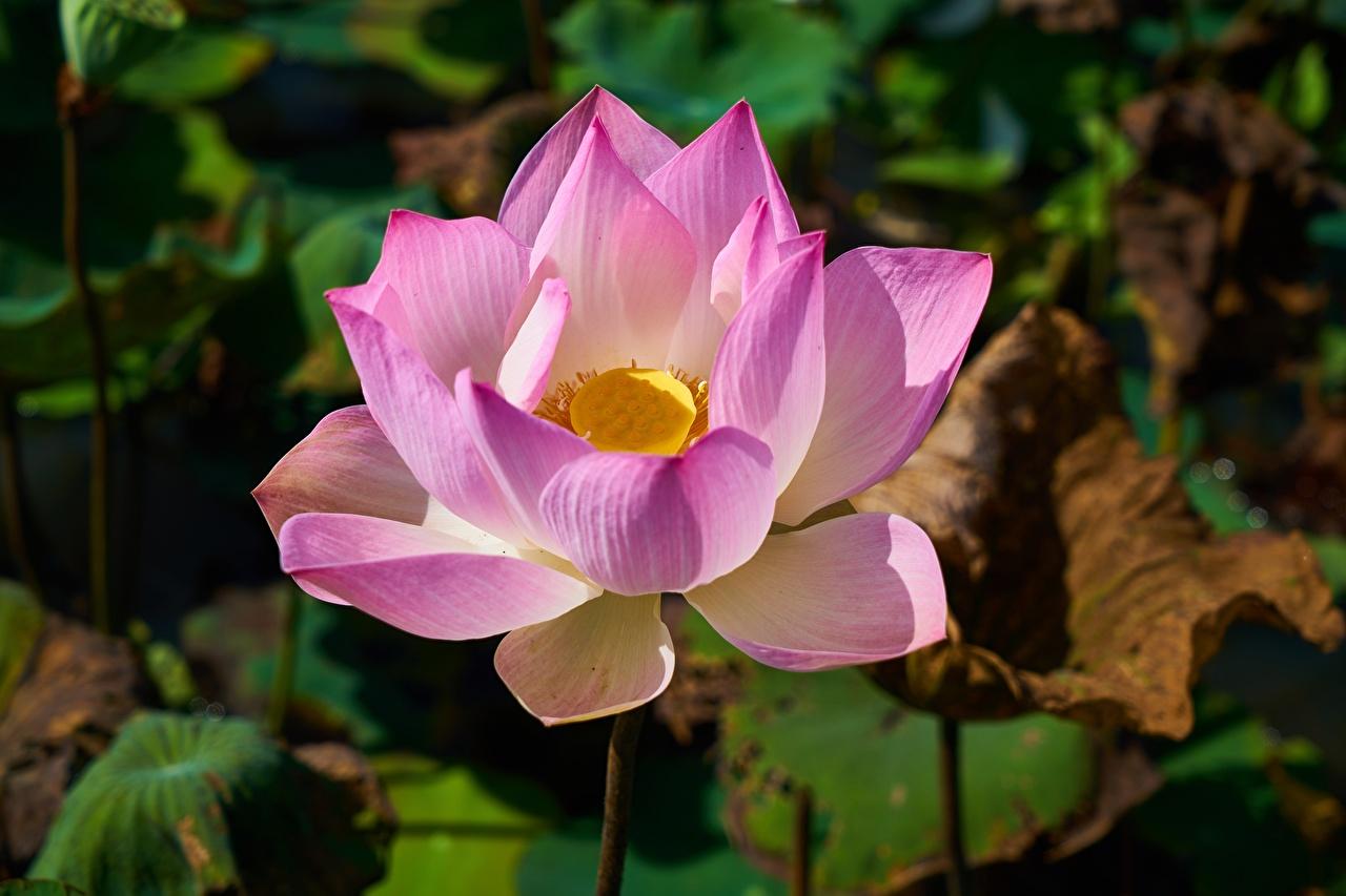 Bilder unscharfer Hintergrund Rosa Farbe Blüte Lotosblume hautnah Bokeh Lotus Blumen Nahaufnahme Großansicht