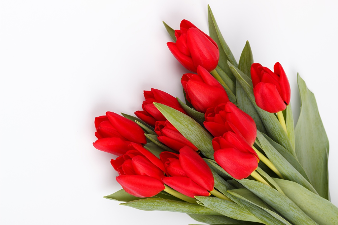 Image Red tulip flower White background Tulips Flowers