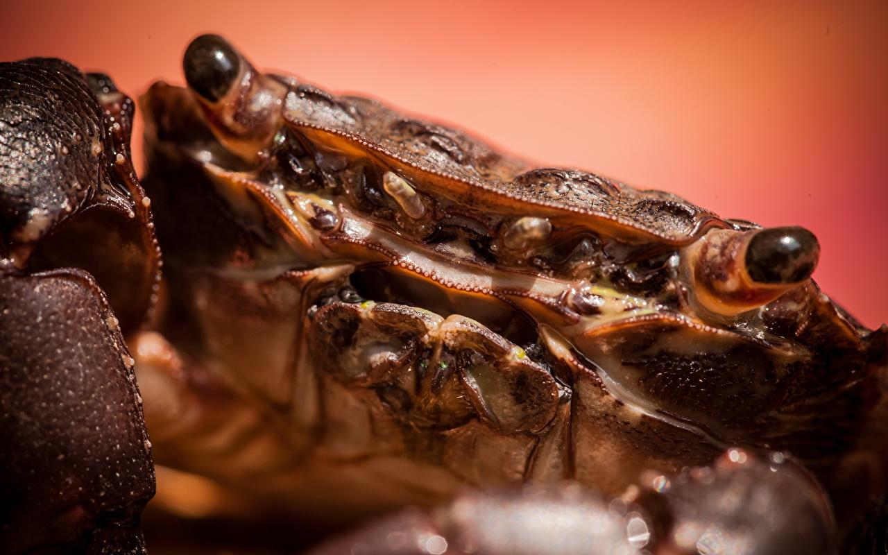 Bakgrunnsbilder Krabber - Dyr Leddyr Dyr Nærbilde krabbe