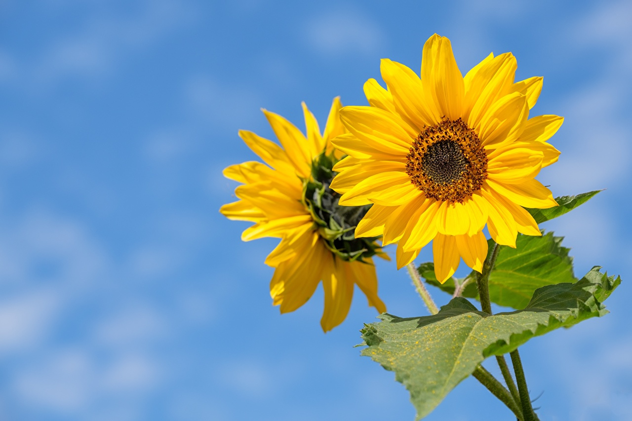 De cerca Girasols Bokeh Amarillo flor, fondo borroso Flores