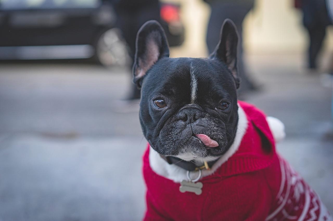 Photo French Bulldog Dogs Black Tongue Snout animal dog Animals