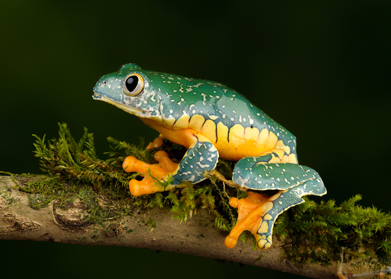 壁紙 カエル Fringed Leaf Frog 枝 動物 ダウンロード 写真