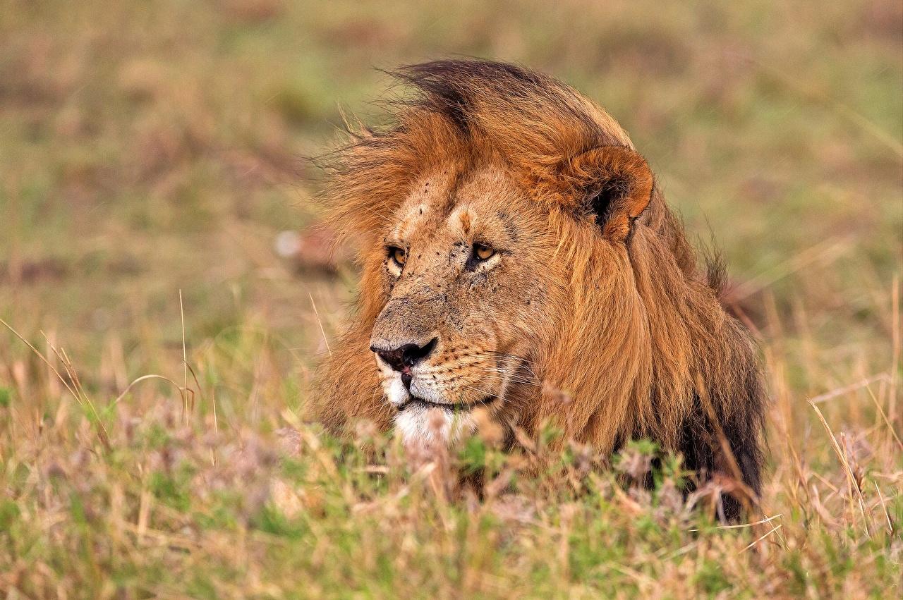 Picture lion Head animal Lions Animals