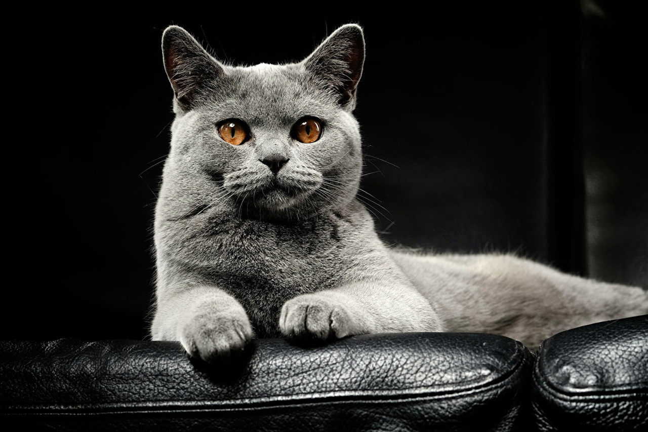 Pictures cat Grey Snout Glance animal Cats gray Staring Animals