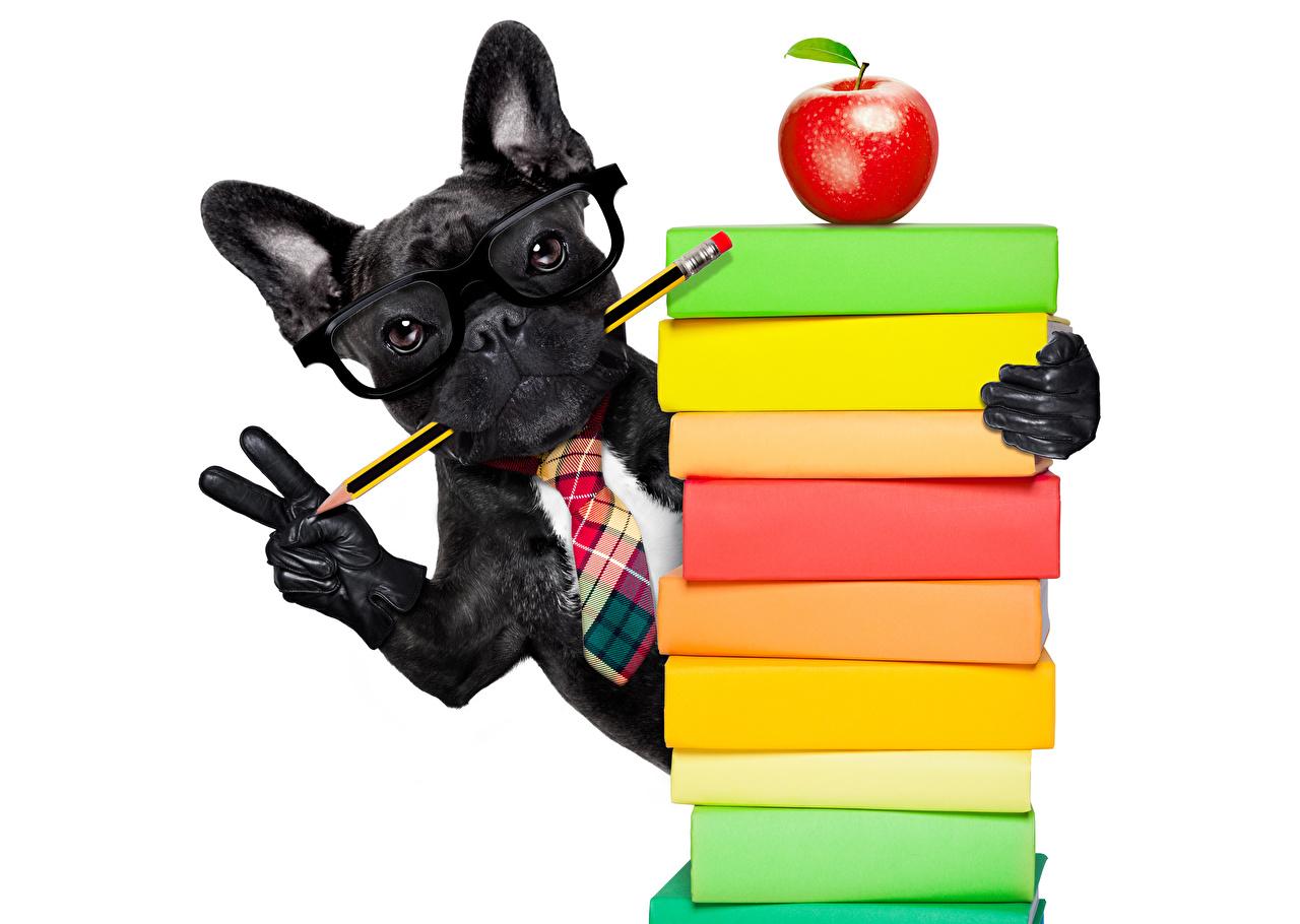 Fonds d'ecran Chien Pommes Doigts Fond blanc Bulldog Noir Livre Lunettes  Crayon Gant Animaux télécharger photo