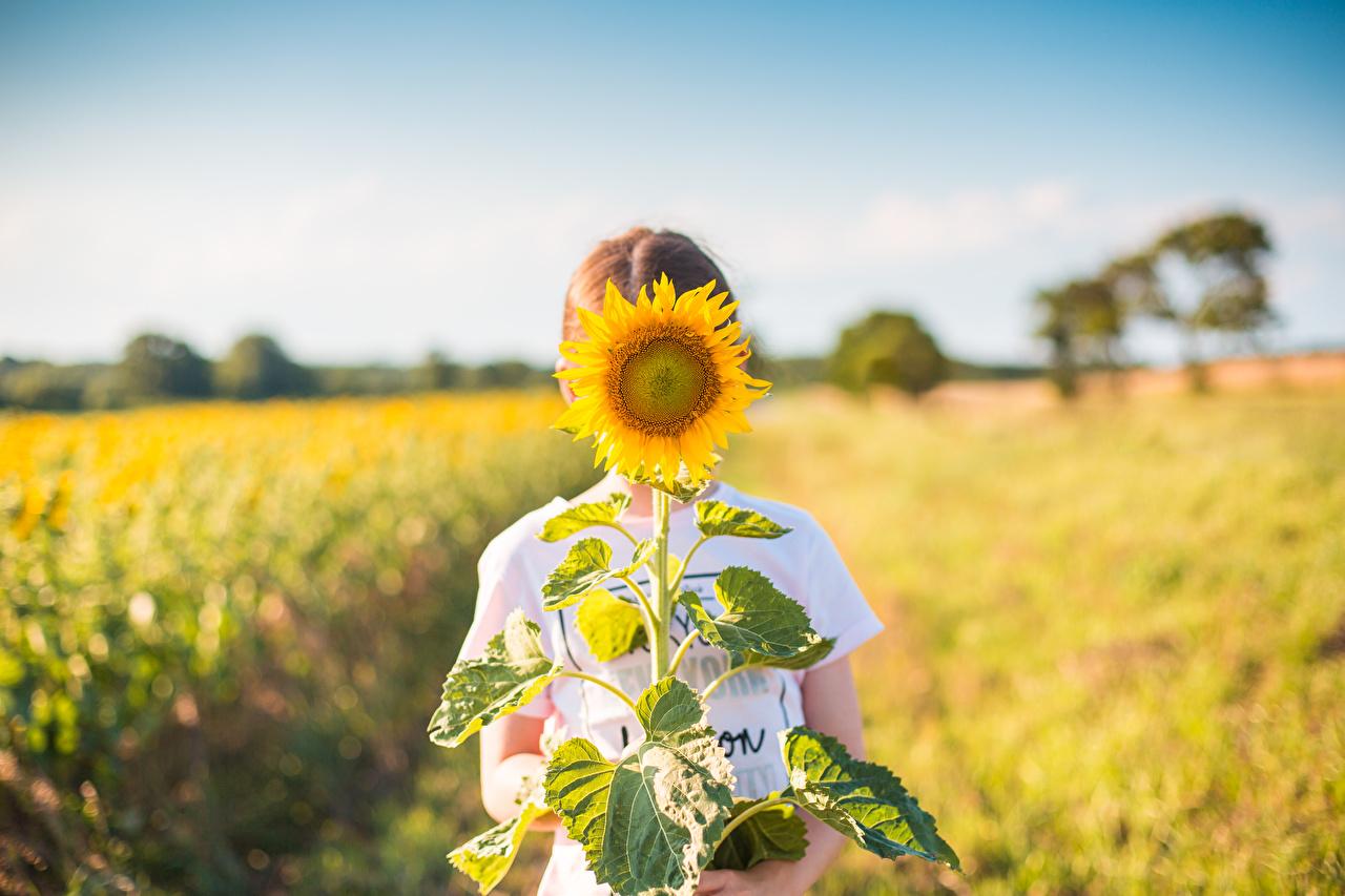 Desktop Hintergrundbilder Bokeh Acker Blumen Sonnenblumen unscharfer Hintergrund Blüte Felder