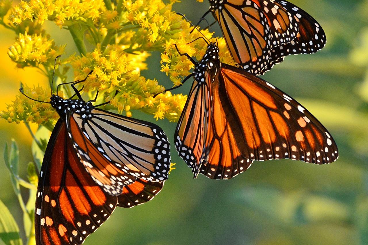 Bakgrunnsbilder monark Sommerfugler Dyr Nærbilde Monarksommerfugl sommerfugl