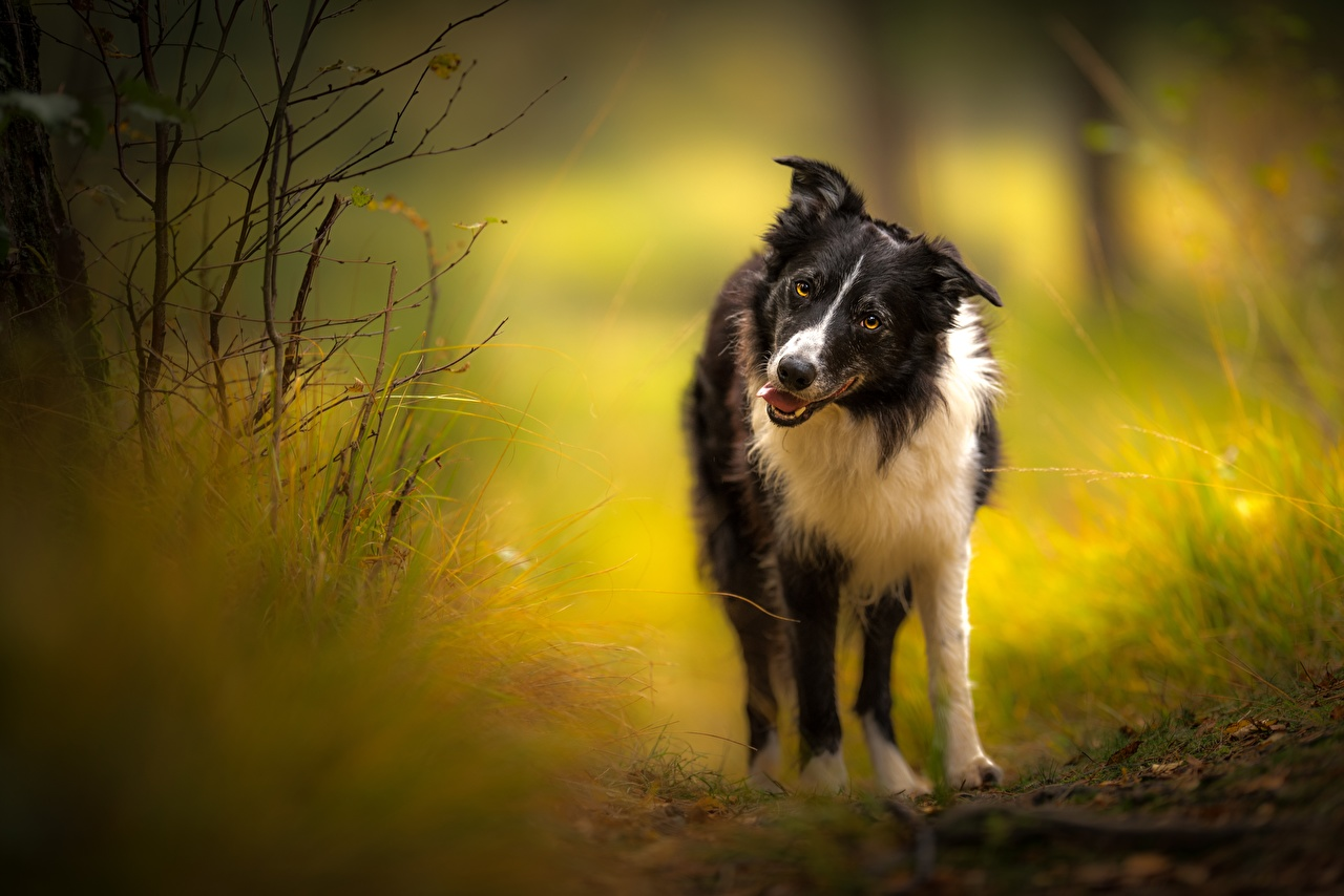 Images Border Collie dog Glance Animals Dogs animal Staring