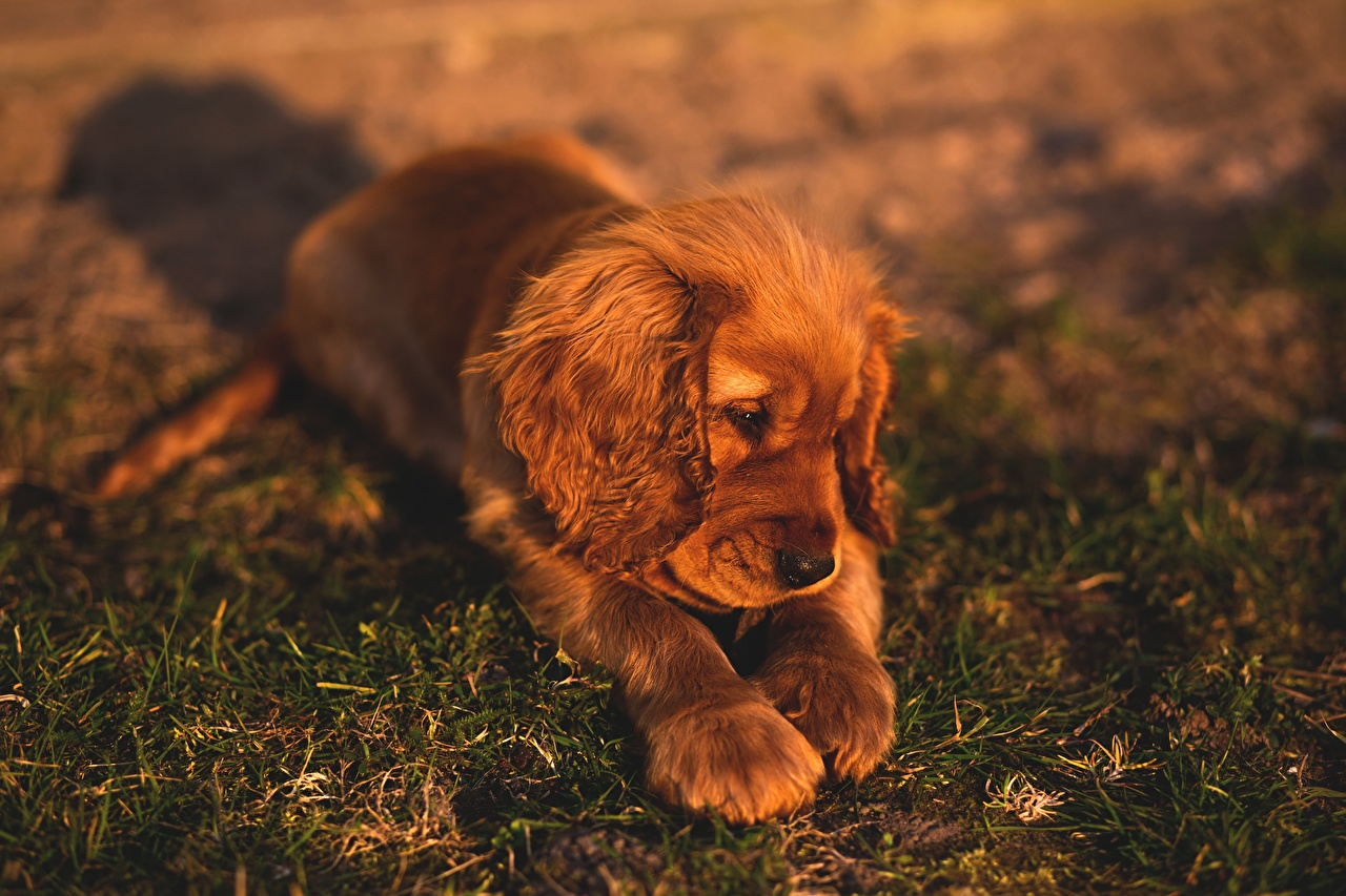 Images Puppy Spaniel Dogs laying Paws Grass Animals puppies dog esting Lying down animal
