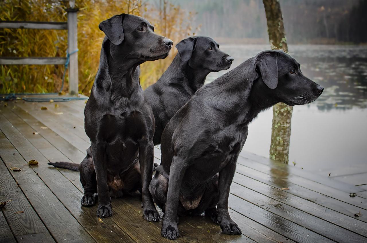 Fotos von Tiere Hunde Schwarz Drei 3 Sitzend Starren Labrador Retriever Blick