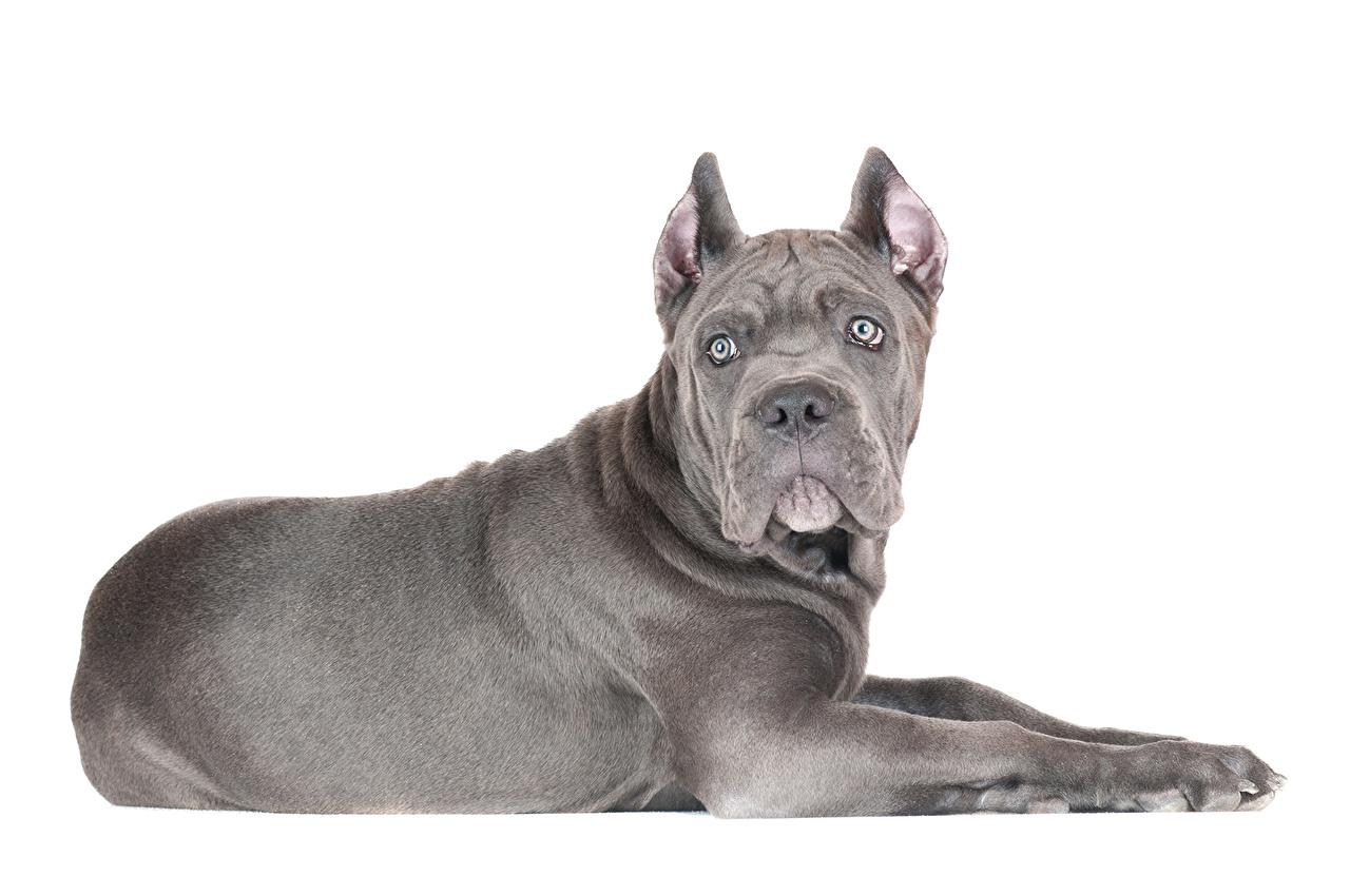 Photo Cane Corso Dogs Grey Animals dog gray animal