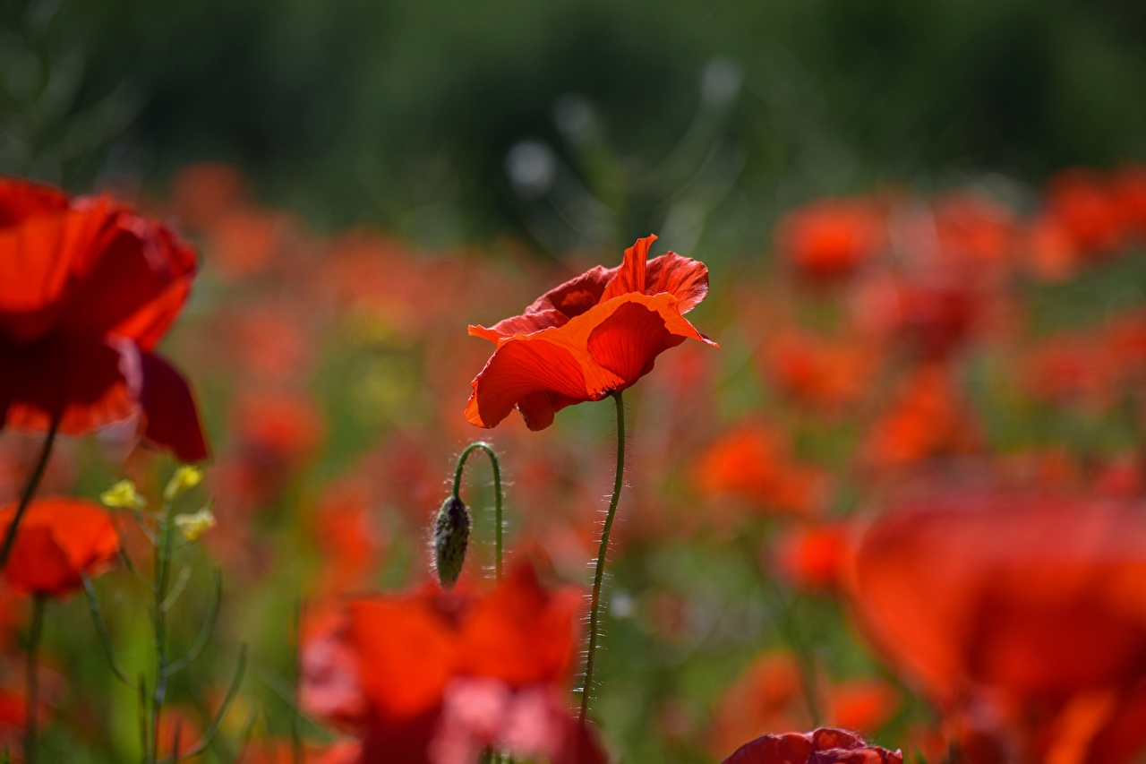 Images Bokeh Red flower Poppies Closeup Flower-bud blurred background papaver Flowers