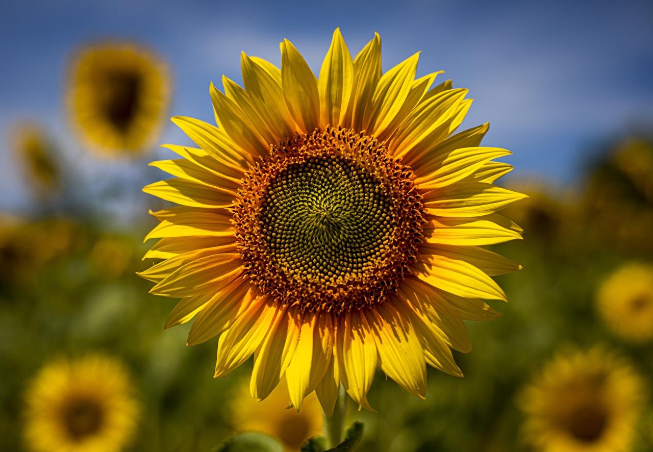 Fotos von unscharfer Hintergrund Gelb Blumen Sonnenblumen Großansicht Bokeh Blüte hautnah Nahaufnahme