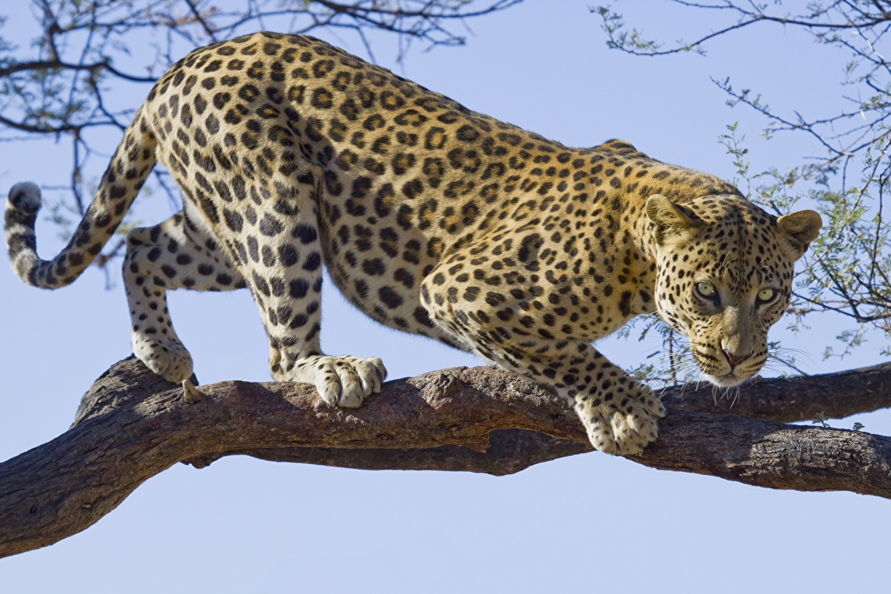 Image leopard Branches Trees animal Staring Leopards Glance Animals
