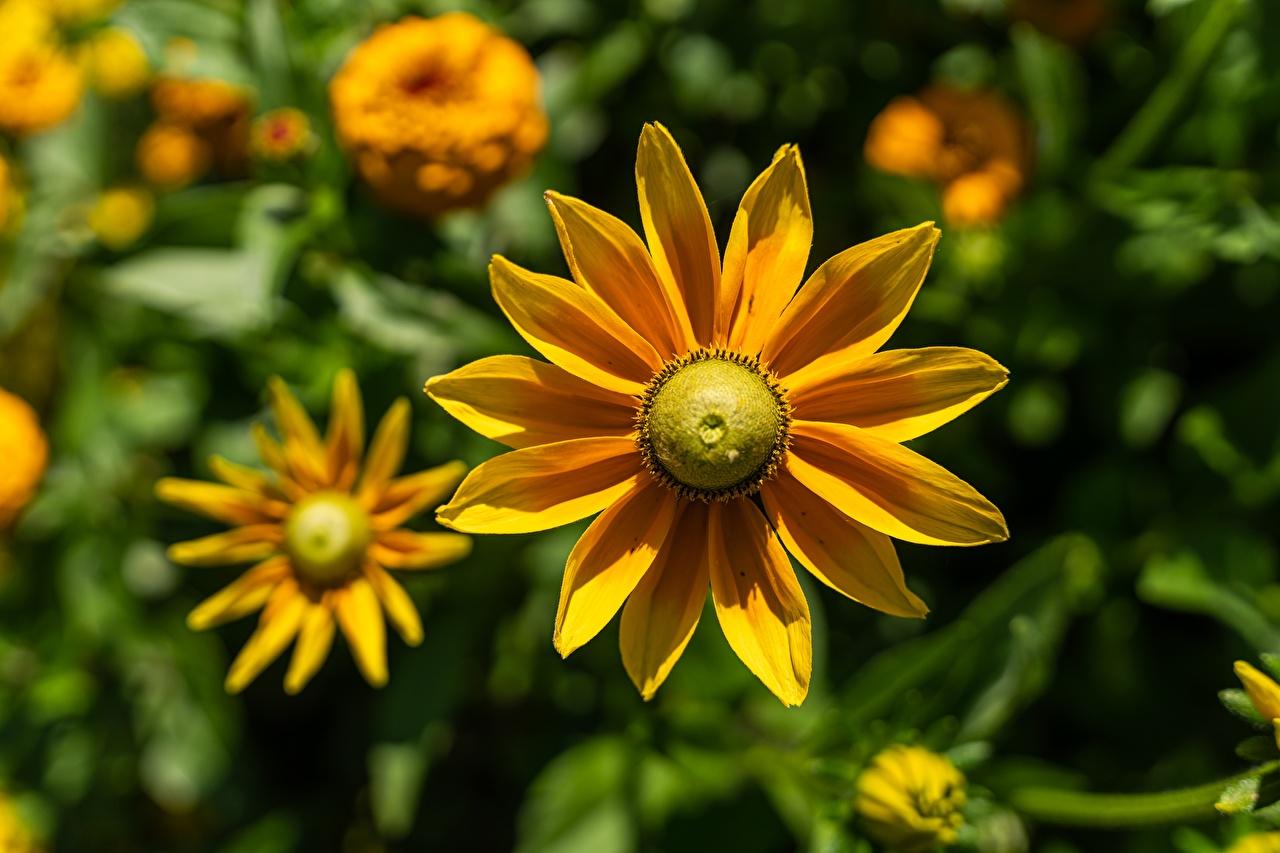 De perto Rudbeckia Bokeh Amarelo flor, Fundo desfocado Flores