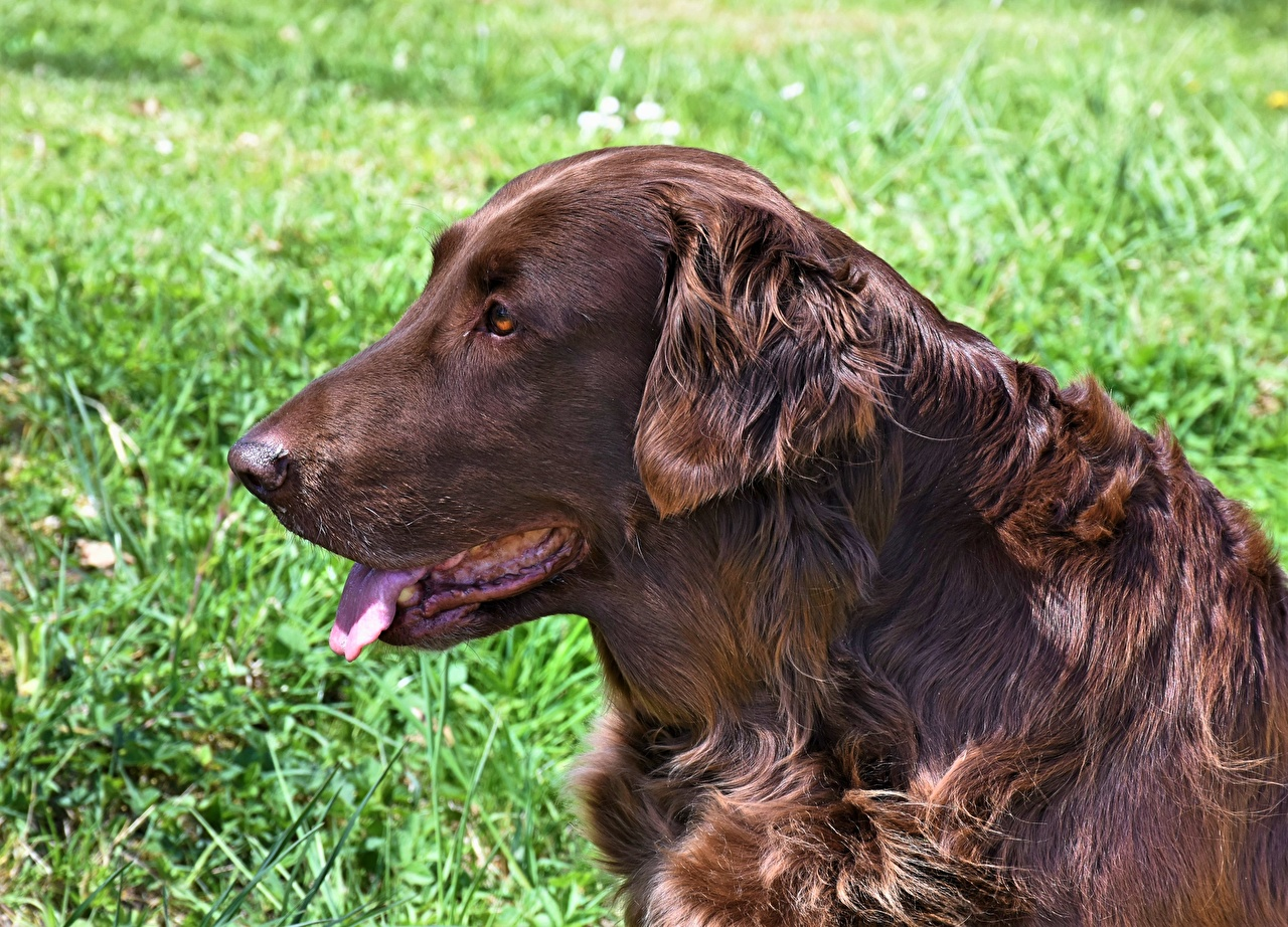 Pictures Irish Setter Dogs Brown Tongue Side Head animal dog Animals