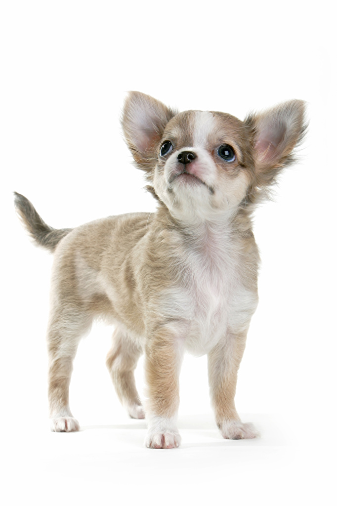 Picture Puppy Chihuahua dog Glance Animals White background  for Mobile phone puppies Dogs animal Staring